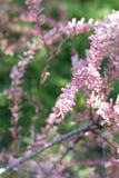 在灌木分支的小桃红色花 背景蒲公英充分的草甸春天黄色 免版税库存照片