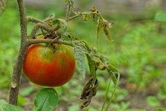 在灌木分支的成熟红色蕃茄在庭院里 免版税库存图片