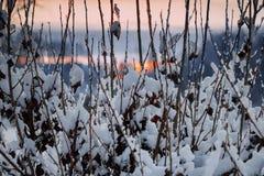 在灌木分支的第一雪 库存图片