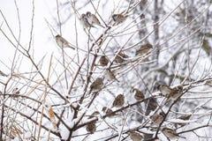 在灌木分支的麻雀  麻雀的冬天周日 在无核小葡萄干分支的共同的麻雀  图库摄影