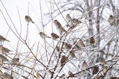 在灌木分支的麻雀  麻雀的冬天周日 在无核小葡萄干分支的共同的麻雀  库存照片