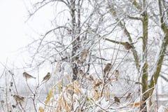 在灌木分支的麻雀  麻雀的冬天周日 在无核小葡萄干分支的共同的麻雀  免版税库存照片
