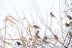 在灌木分支的麻雀  麻雀的冬天周日 在无核小葡萄干分支的共同的麻雀  免版税库存图片