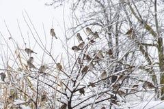 在灌木分支的麻雀  麻雀的冬天周日 在无核小葡萄干分支的共同的麻雀  免版税图库摄影