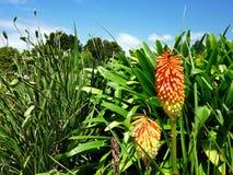 在灌木前面的红黄色植物 库存图片