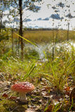 在灌木和湖背景的美丽的毒蘑菇蛤蟆菌  免版税库存图片