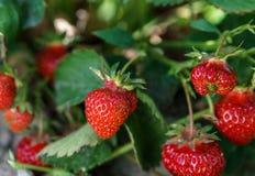 在灌木成长的新鲜的草莓在农场 免版税图库摄影