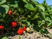 在灌木成长的新鲜的草莓在农场 免版税库存图片
