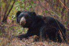 在灌木推力头的印度的一种长毛熊 免版税库存图片