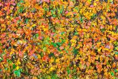 在灌木摘要的五颜六色的叶子 库存图片