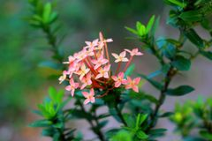 在灌木桃红色颜色自然秀丽的花 库存照片