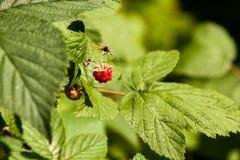 在灌木烘烤的莓 免版税库存图片