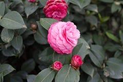 在灌木特写镜头的日本山茶花桃红色花 库存图片