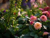 在灌木的一些朵桃红色大丽花 免版税库存照片