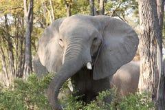 在灌木的一头大象。 库存图片