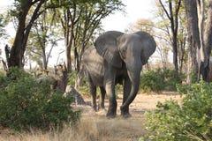 在灌木的一头大象。 库存照片