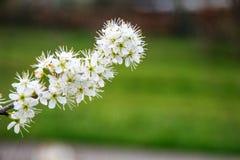 在灌木的一朵白色春天花在我的房子的公园 库存照片