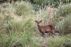 在灌木的一头鹿 免版税库存图片
