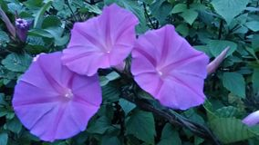 在灌木的三朵美丽的花 库存照片