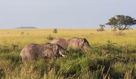 在灌木的两头大象 serengeti坦桑尼亚 图库摄影