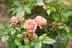 在灌木的两朵桃红色玫瑰 免版税图库摄影