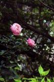 在灌木的两朵迷人的桃红色玫瑰 库存照片
