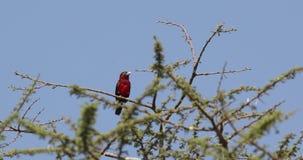 在灌木的二重齿状的热带巨嘴鸟 股票录像