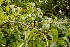在灌木的伟大的山雀 图库摄影