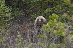 在灌木的北美灰熊 免版税库存图片
