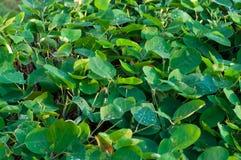 在灌木的叶子的水滴 库存图片