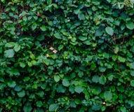 在灌木的叶子 免版税库存照片