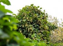 在灌木的啤酒花球果树,深绿迷离自然本底,有选择性的软的焦点 免版税库存照片