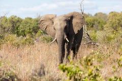 在灌木的大象 库存图片