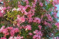 在灌木的夹竹桃花 库存照片