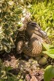 在灌木的女性野鸭鸭子孵化用蛋 库存图片