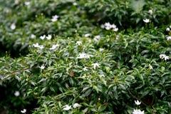 在灌木的小白花在庭院里 图库摄影