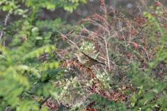 在灌木的小的麻雀 图库摄影