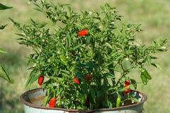 在灌木的小辣椒在花盆在庭院里 免版税库存照片