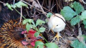 在灌木的小鸡 库存照片