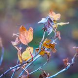 在灌木的干燥无核小葡萄干叶子在模糊的background_的秋天 免版税库存图片
