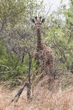 在灌木的幼小长颈鹿 库存图片