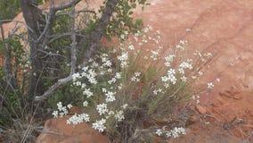 在灌木的微小的白花 免版税库存照片