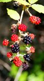 在灌木的成熟和未成熟的黑莓 免版税库存图片
