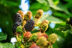 在灌木的成熟和未成熟的黑莓与选择聚焦 黑莓的Buch 库存图片