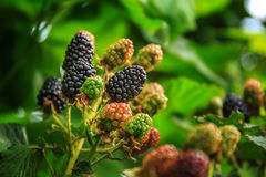 在灌木的成熟和未成熟的黑莓与选择聚焦 黑莓的Buch 免版税图库摄影