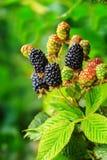 在灌木的成熟和未成熟的黑莓与选择聚焦 黑莓的Buch 库存照片