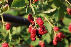 在灌木的成熟和未成熟的黑莓与defocused backgrou 库存图片