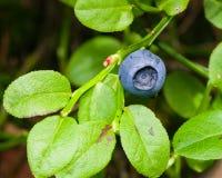 在灌木的成熟狂放的蓝莓宏指令,选择聚焦,浅DOF 库存照片