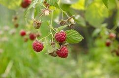 在灌木的成熟红草莓 图库摄影