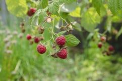 在灌木的成熟红草莓 免版税图库摄影
